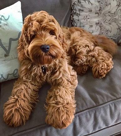 Our Dogs Labradoodles Dogs Australian Autism ASD Non-shedding