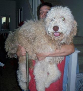 Breed Labradoodles Dogs Australian Autism Asd Non Shedding
